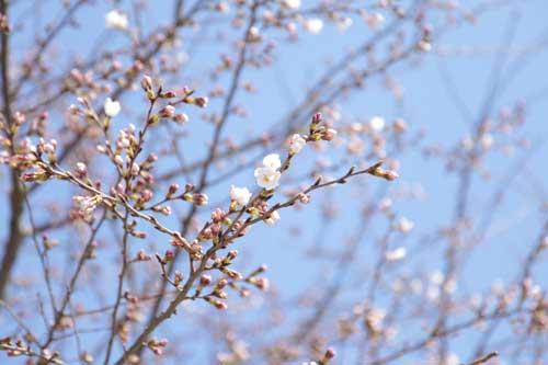 皿垣開の桜11