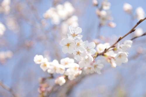皿垣開の桜7