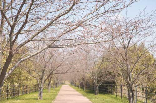 皿垣開の桜5