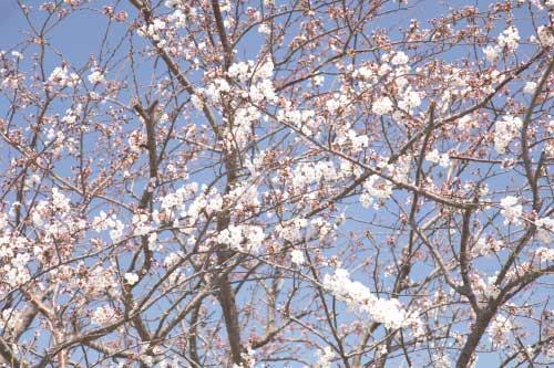 皿垣開の桜4