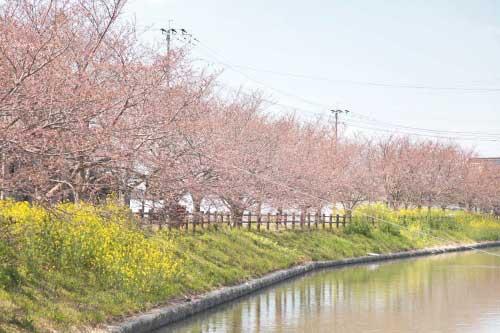 皿垣開の桜3
