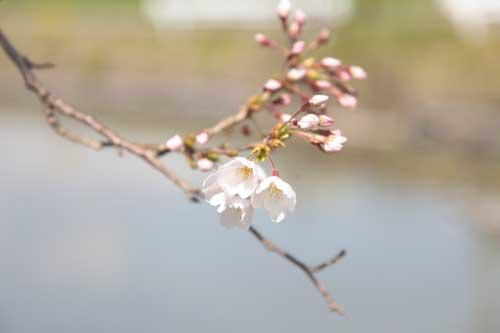 皿垣開の桜1