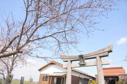 皿垣開の桜10