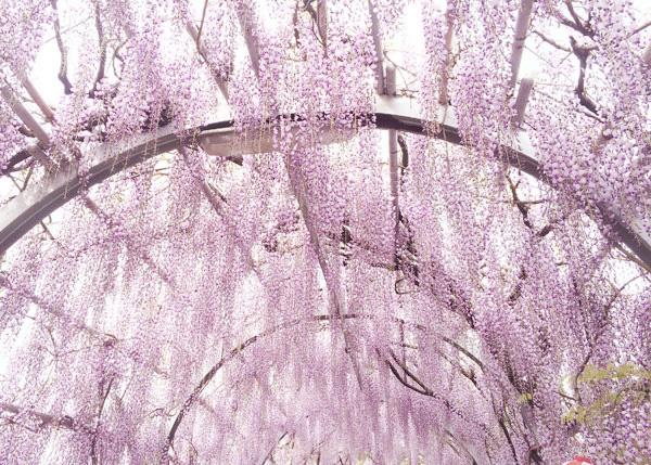 中山大藤まつり2016_4