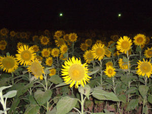 H18.08.06ひまわり園(夜・ライトアップ)2