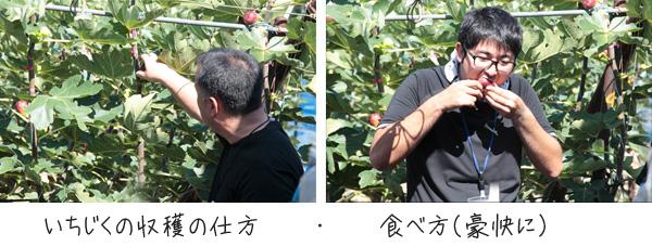 いちじく収穫体験10